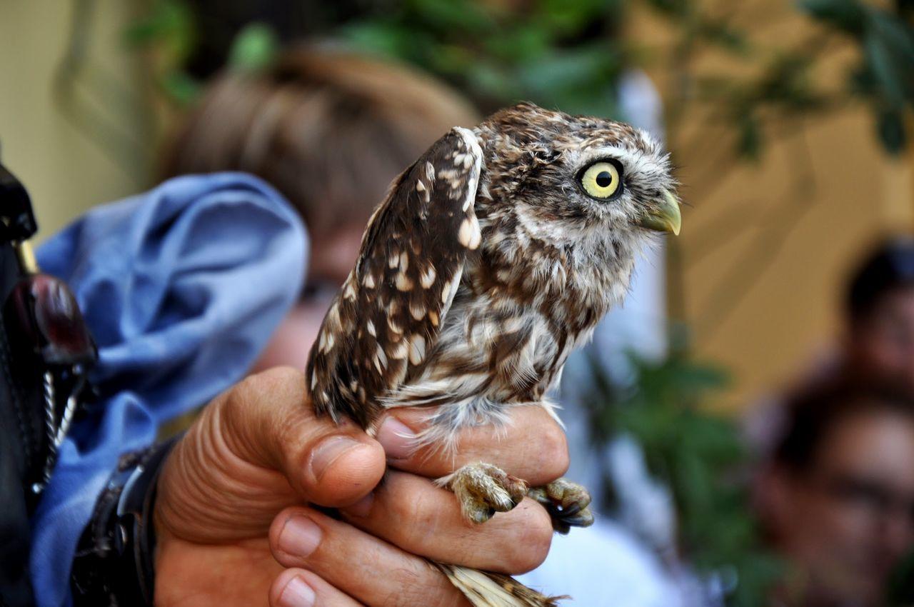Beautiful stock photos of eule, Bird, Bird Of Prey, Cropped, Day