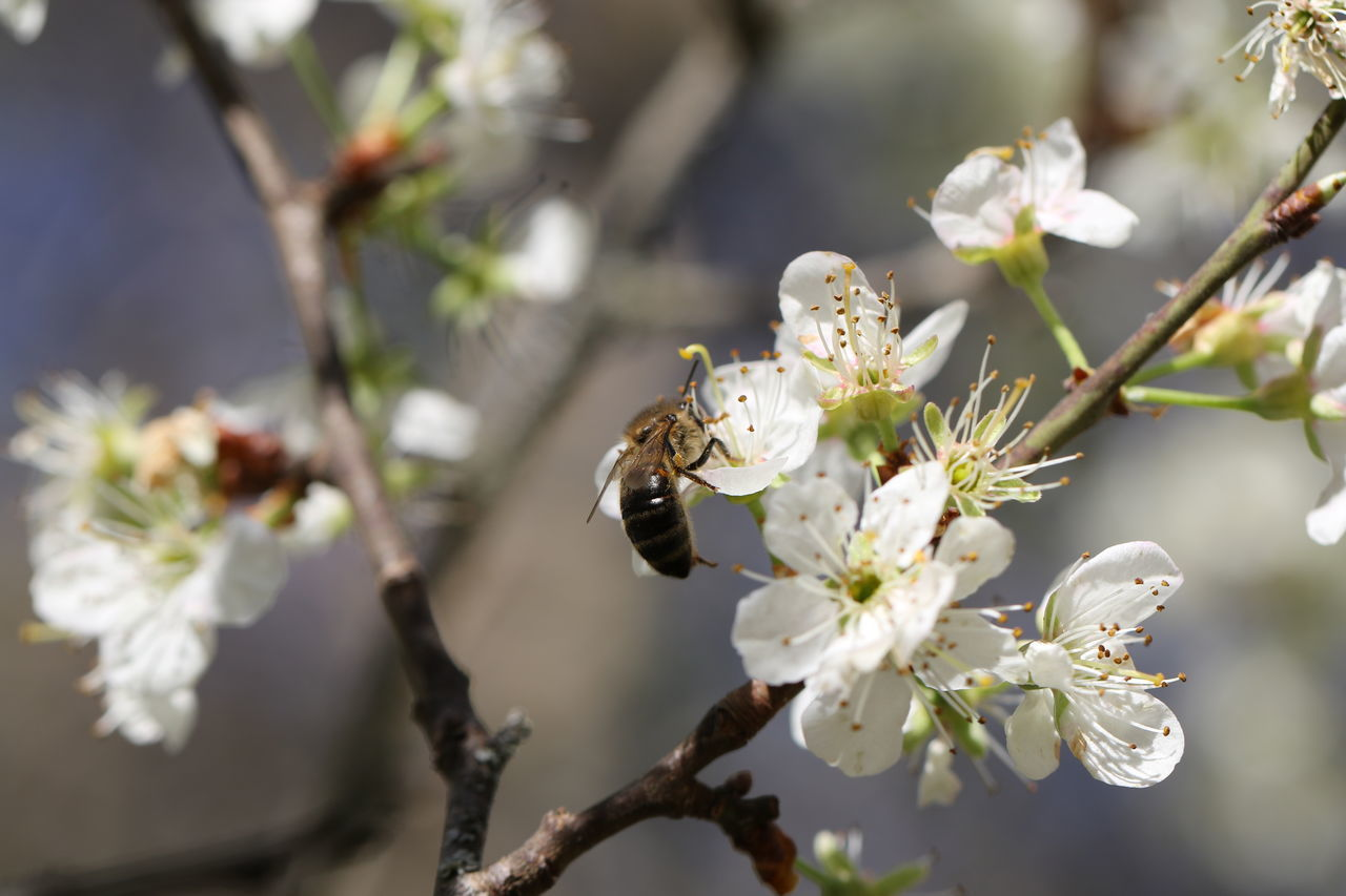 flower, white color, fragility, nature, growth, beauty in nature, botany, blossom, branch, springtime, freshness, apple blossom, bee, orchard, tree, petal, day, no people, insect, outdoors, close-up, flower head, plum blossom, pollination, animals in the wild, animal themes