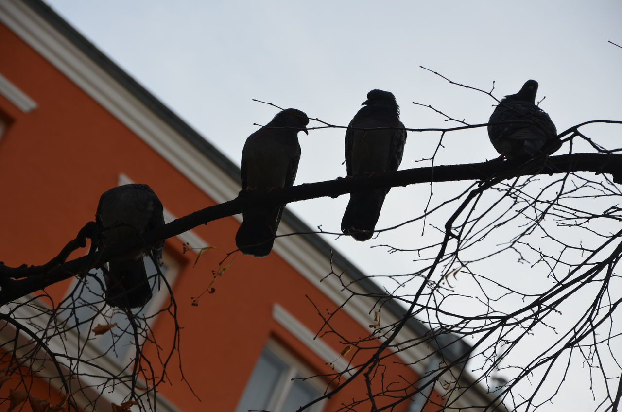 Low Angle View Of Pigeons Perching On Branch Against Building