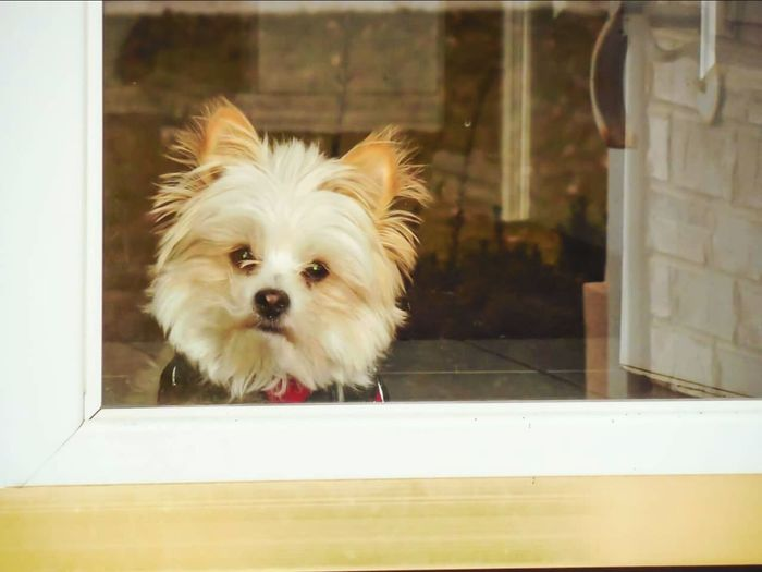 Puppy in the window. He loves going outside, but can't be trusted unless he is on a leash. Fluffy Fluffy Dog Animals Puppy❤ Puppy Love Puppyclothes