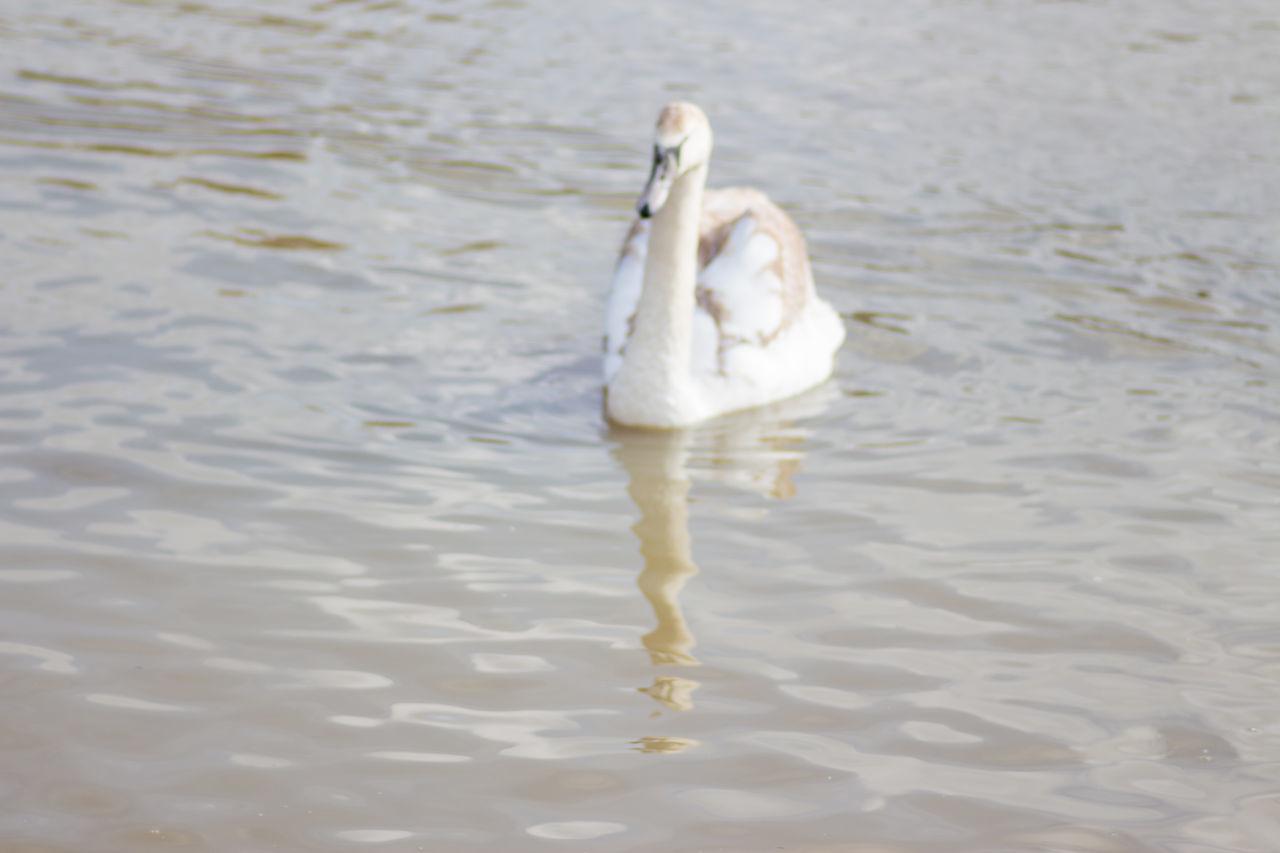 one animal, animals in the wild, white color, animal themes, bird, swan, animal wildlife, water, water bird, swimming, day, nature, no people, lake, beak, outdoors, full length, close-up