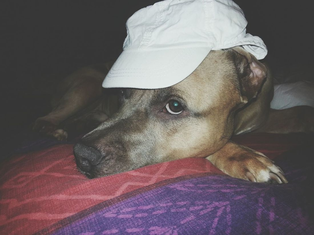 I thought it was funny. He didn't. Dog Wearing A Hat Not Funny  Pets Corner