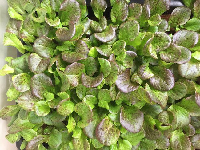 Vegetables Salad Freshness Urban Farming Hydroponics Food Growing Plants Growing Food Lettuce Greens Baby