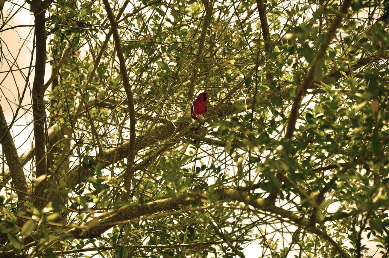 Bird Cardinal Photography Hello World Nature Nikon D90 Saint Lucie Nikonphotography