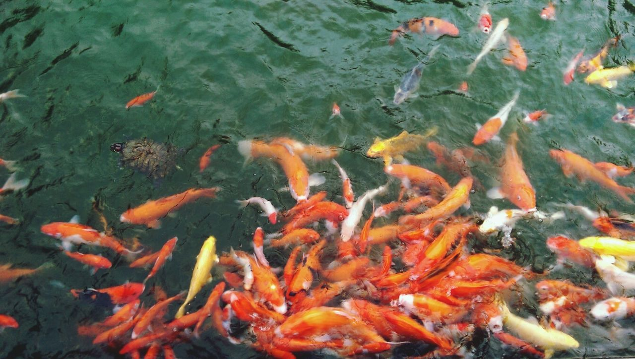 koi carp, swimming, water, carp, high angle view, fish, animal themes, nature, large group of animals, outdoors, animals in the wild, waterfront, no people, day, sea life, motion, close-up