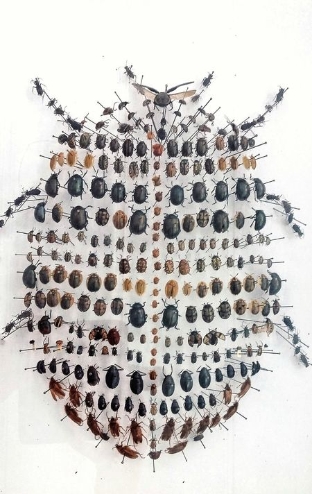 Beautifully Organized No People Insect White Background Coleoptera Escarabajos Insecto Insect Shape Bug Taxidermy Indoors
