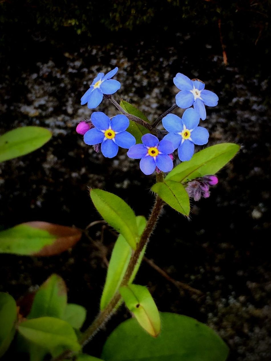 Plant Growth Fragility Flower Leaf Nature Beauty In Nature Freshness Petal Outdoors Close-up No People Green Color Day Flower Head Blooming Forget Me Not