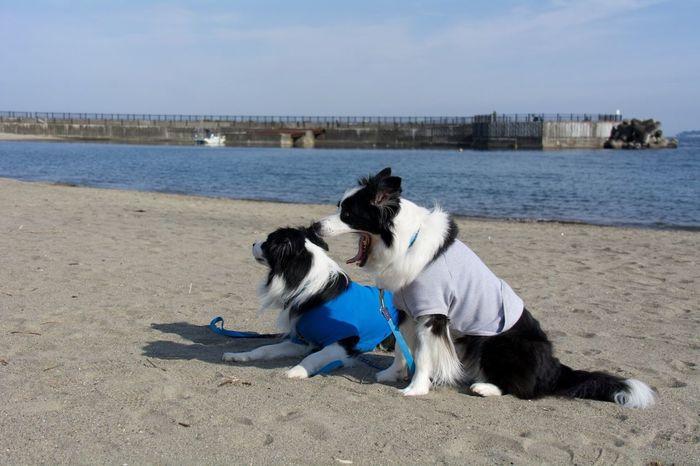 Nikon Nikon D7100 Snap Pet Photography  EyeEmJapan Check This Out Dog Border Collie I Love My Dog My Border Collie Sea Sandy Beach