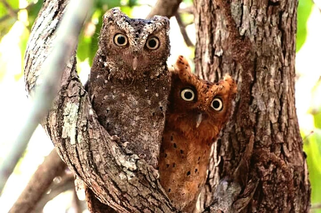 Looking At Camera One Animal Tree Animal Themes Tree Trunk Animals In The Wild Animal Wildlife Portrait Nature Animal Head  Focus On Foreground Mammal Outdoors Animal Body Part No People Owl Day Leopard Animal Eye Beauty In Nature Birds_collection Birds In Flight JabirHemed Owls OWL PICKNICK