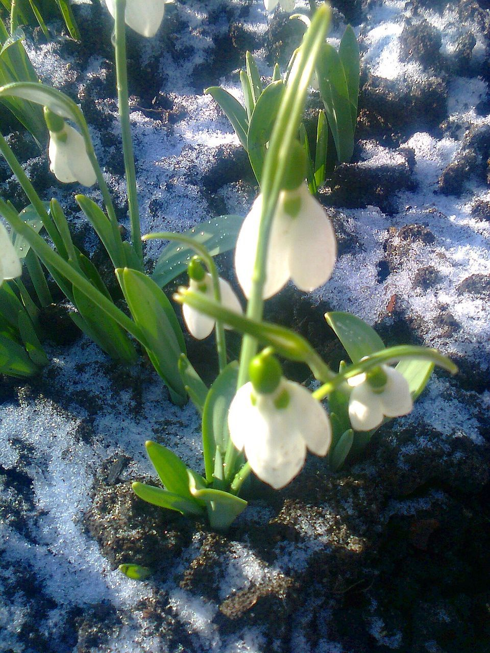 growth, nature, snowdrop, green color, plant, no people, day, beauty in nature, leaf, freshness, sunlight, fragility, outdoors, close-up, flower