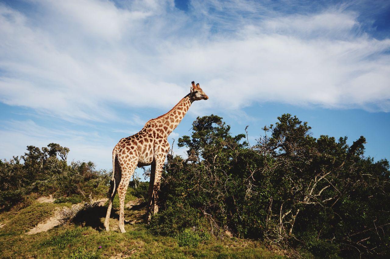 Beautiful stock photos of giraffe, Animal Markings, Animal Themes, Animal Wildlife, Animals In The Wild