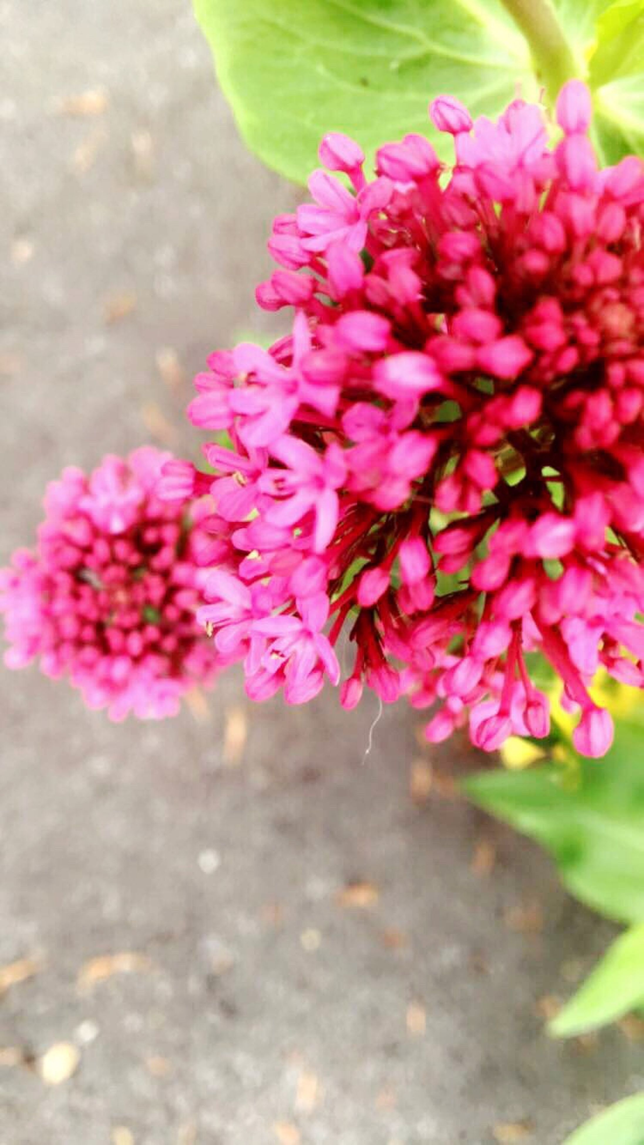flower, pink color, pink, plant, nature, growth, delicate, blooming, no people, road, outdoors, freshness, day