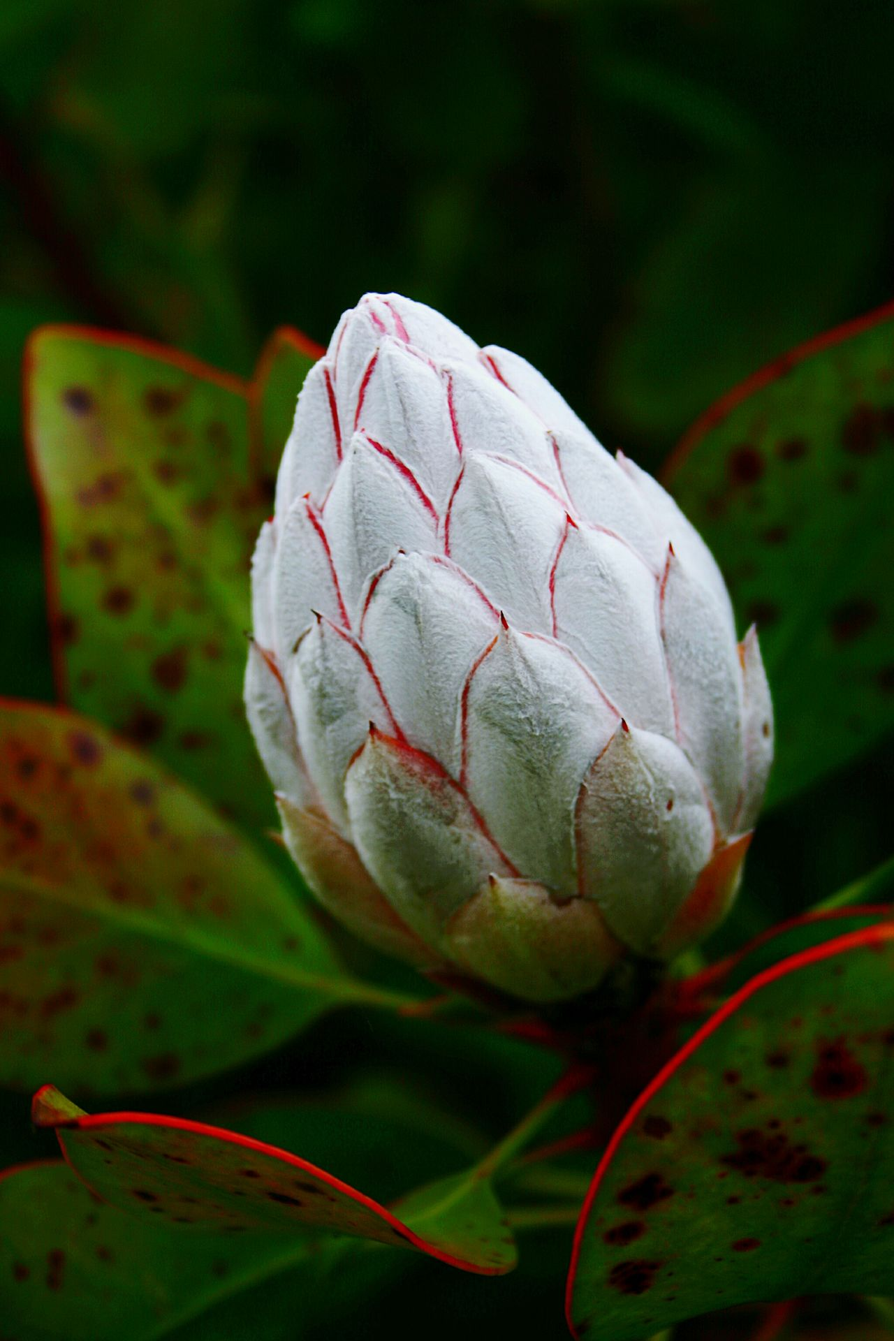 Close-up Plant Protea Flower Leaf Nature No People Outdoors Flower Beauty In Nature Green Leaves White Flower Budding Flower Colorful Tropical Plant