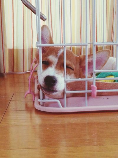 Bored Jackrussell Max Takahashi Funny