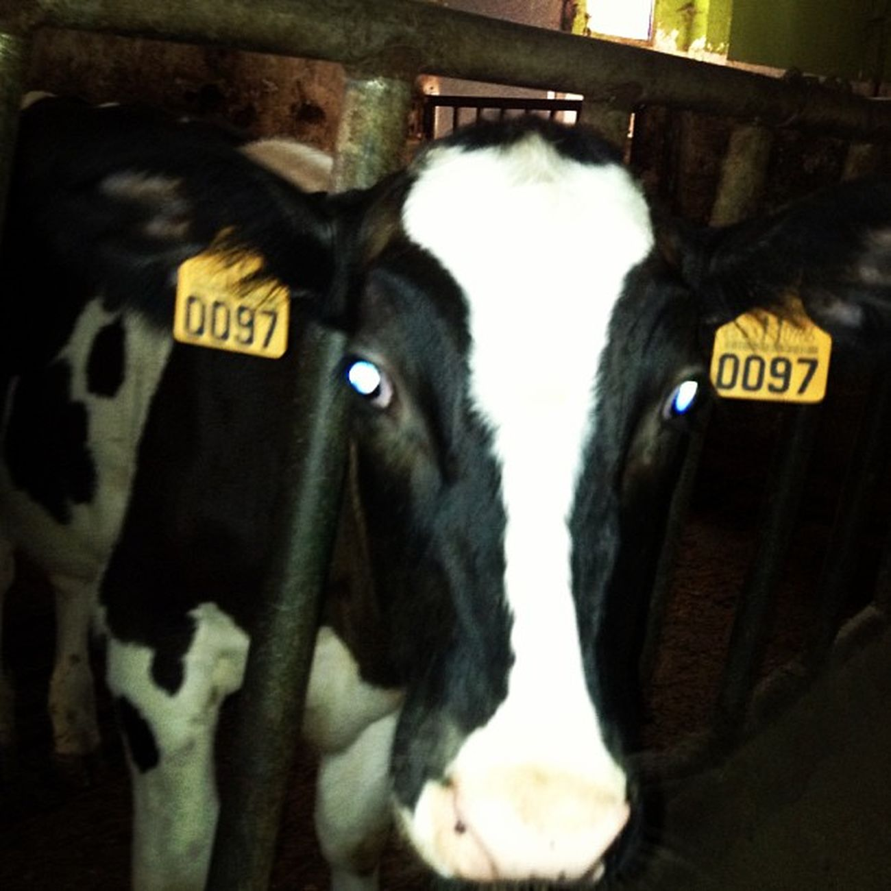 Laser cow Xanceda