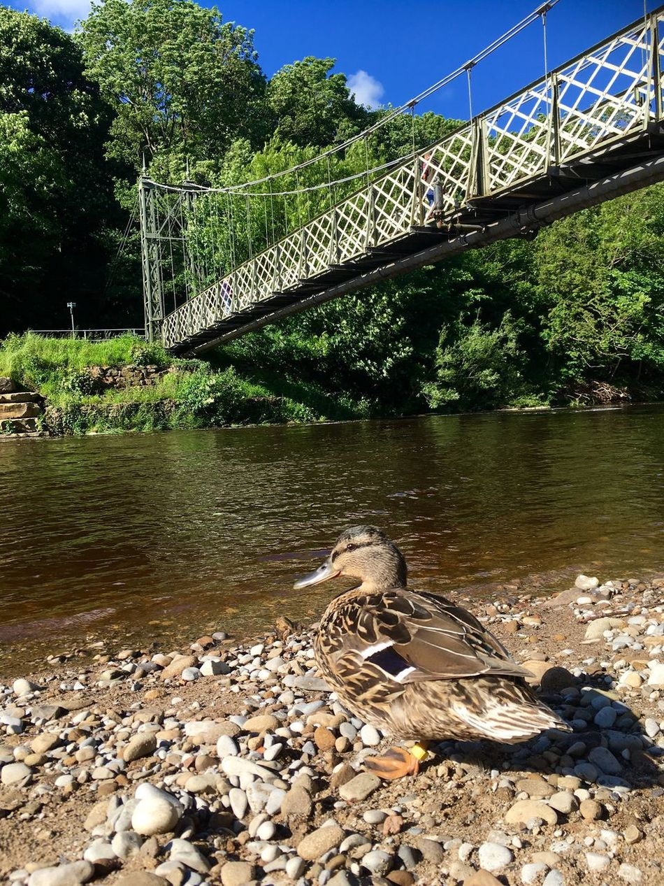 Ilkley Ilkley River River Wharfe Riverside Yorkshire Countryside Duck Enjoying The View Sunshine Sunny Day Mother Duck Nature Wildlife Bridge Bridge Over Water