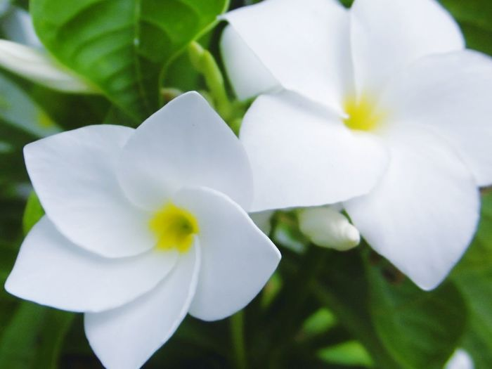 Flower Petal Flower Head Fragility Nature Plant Growth Rave Close-up White Color Springtime Frangipani ลั่นทมFRangipani