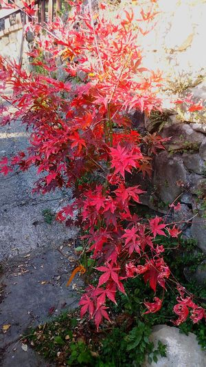 I colori dell'autunno... Red Tree Acero Giapponese Acerorosso Autumn Colors Beauty In Nature Japan Acer Osakazuki Acer Acerphotography In The Wood Mygardentoday Tree At Home Sweet Home Nature Garden Photography Color Explosion StonexOneGalileo Countryhouse Athomeinthemountains Athomeinthewood Countrystyle