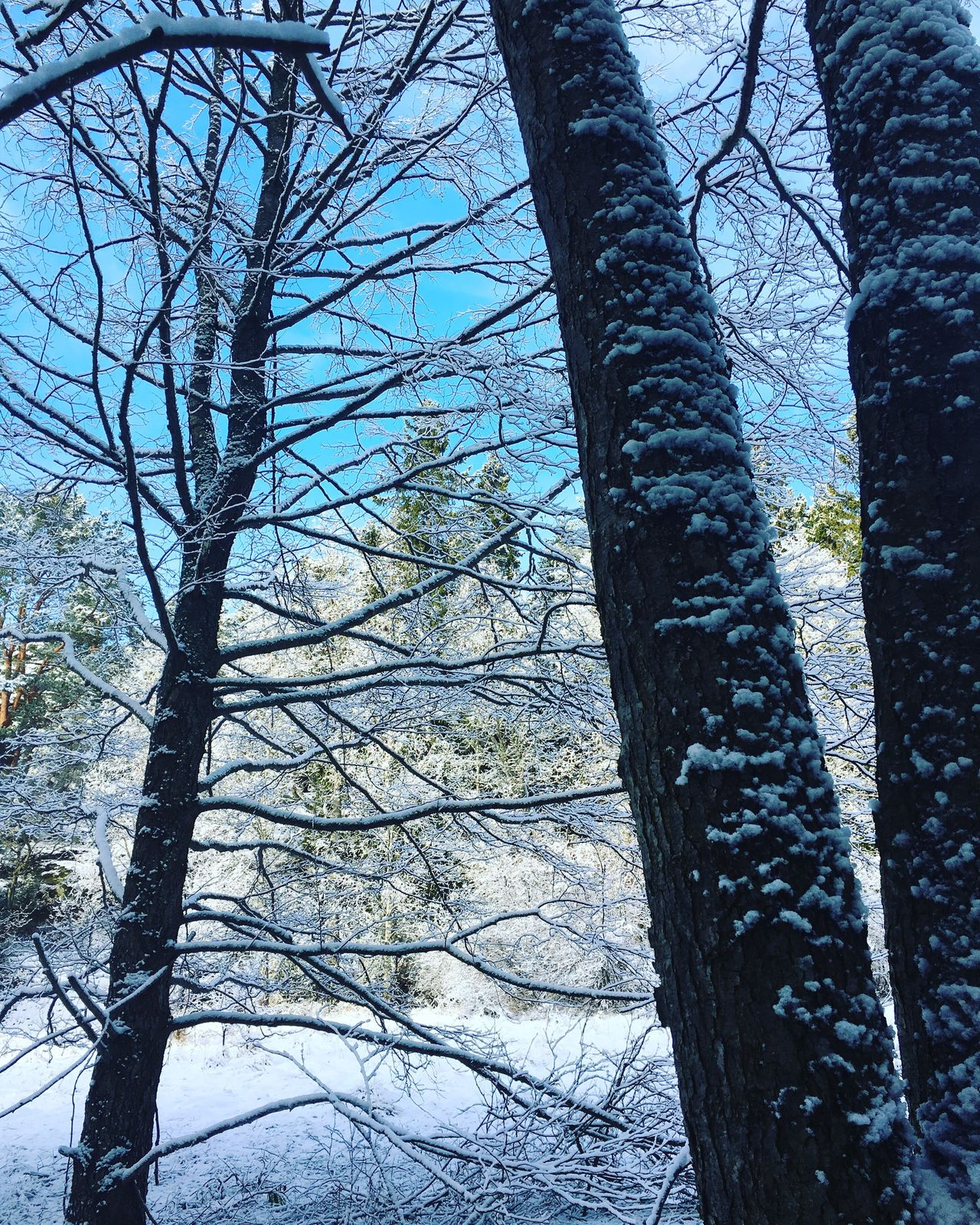 Winter again... Tree Nature Beauty In Nature Tranquility Low Angle View Bare Tree Winter Sky Outdoors Forest Snow