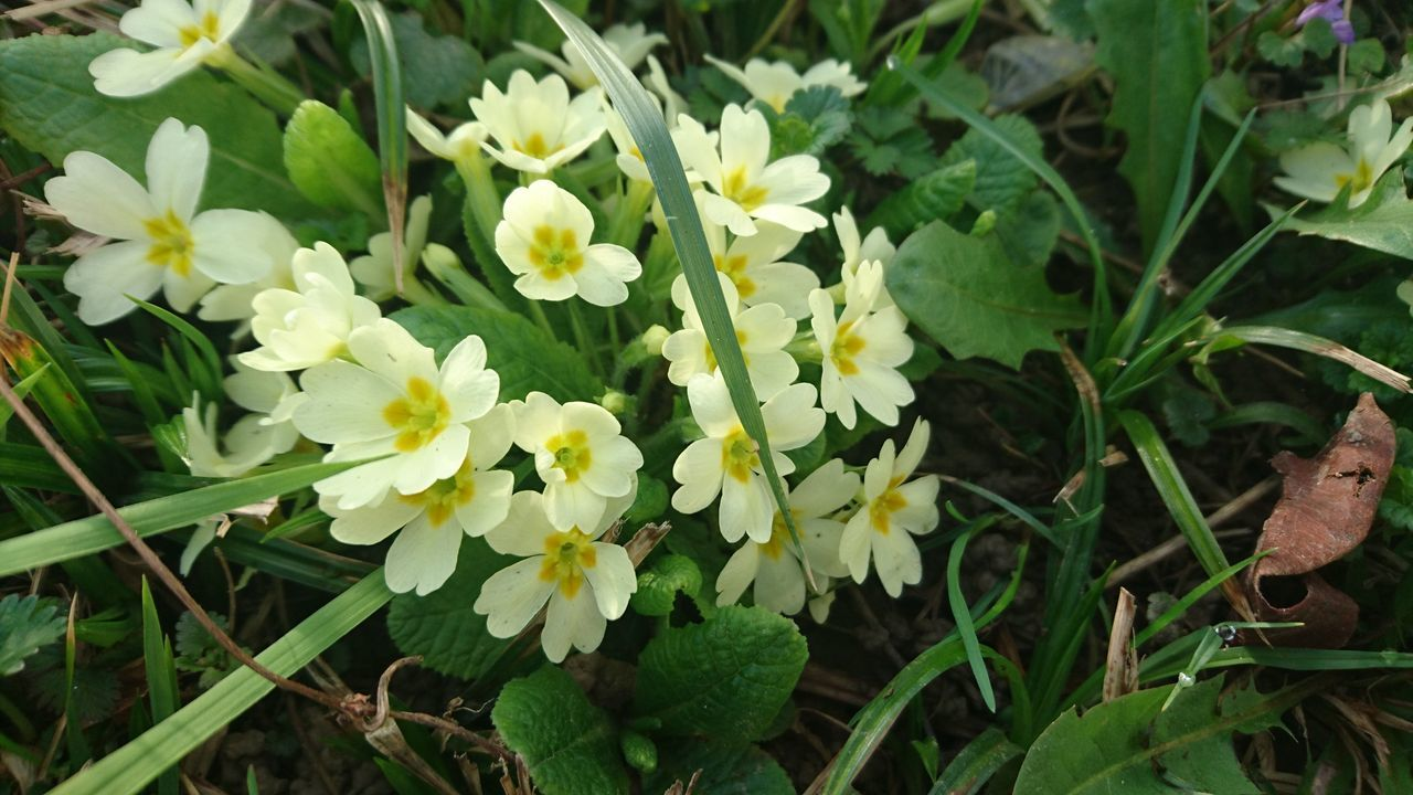 Beauty In Nature Blooming Close-up Day Field Flower Fragility Freshness Green Color Growth Nature No People Outdoors Primrose