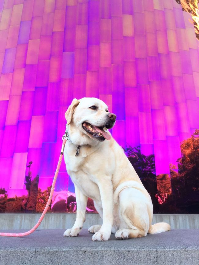 43 Golden Moments Purple Dog Labrador Labrador Retriever Yellow Lab EMP (Seattle) Seattle