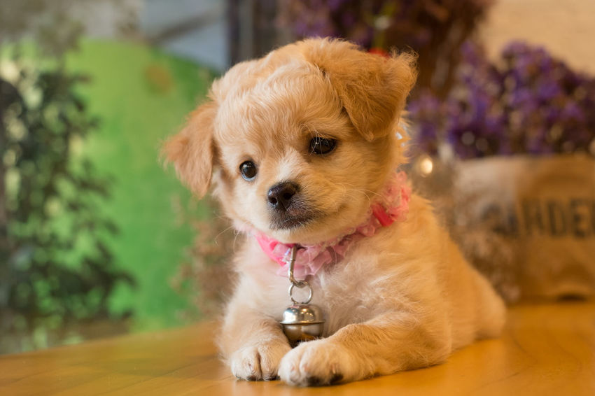 Mixed breed puppy on table. Brown Cute Dog Domestic Animals Lap Dog Mammal No People Pet Collar Pets Portrait Puppy Selective Focus Young Animal
