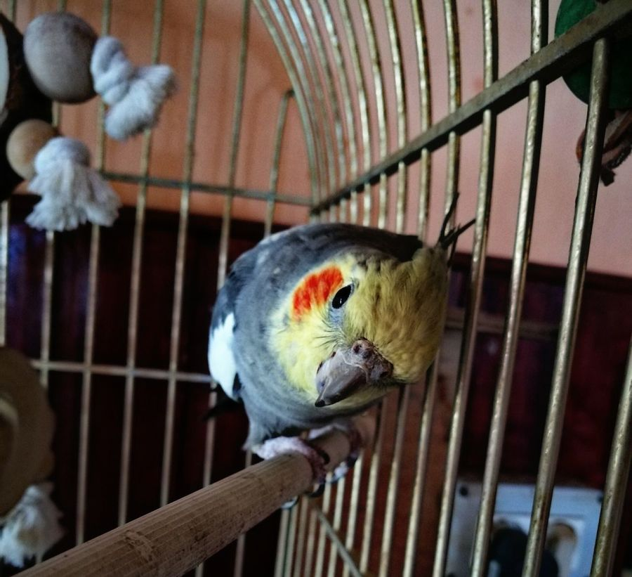 Ninfa Carolinas Pearls Animal Themes Domestic Animals Birdcage Beauty In Nature One Animal