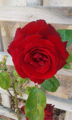 Relaxing EyeEm Nature Lover Natural Beauty Naturelovers Catalunya Independent Hello World Enjoying Liferoses Flors/ Flowers Roses World 🌹❤️🌹 Flowers,Plants & Garden
