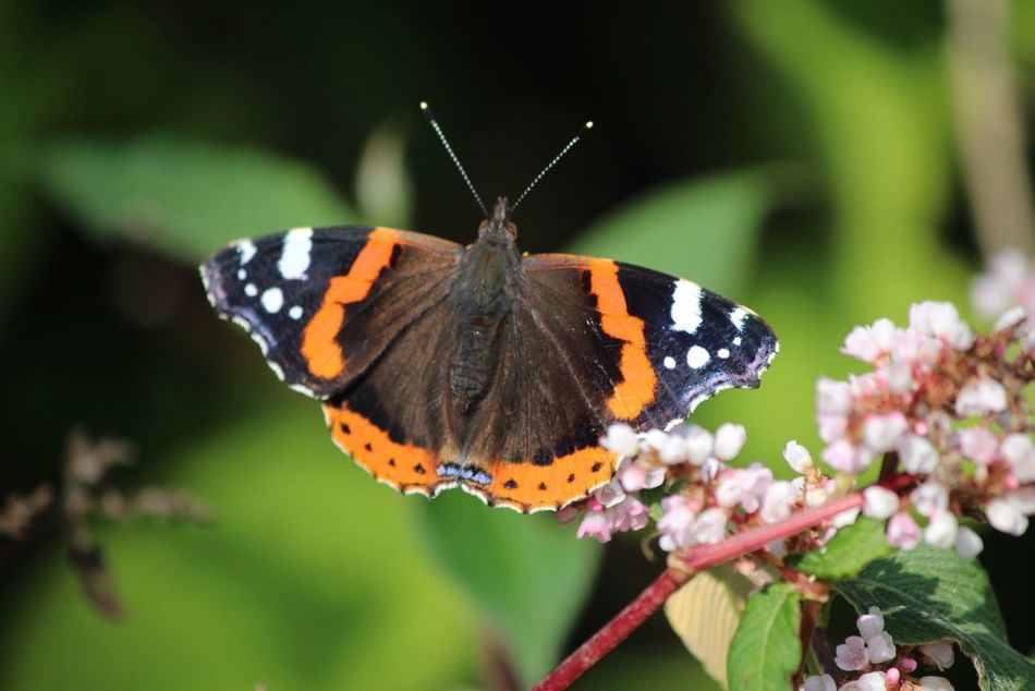butterfly red admiral EyeEm Nature Lover Nature_collection Nature Flower Collection Butterfly Butterflies Natures Diversities