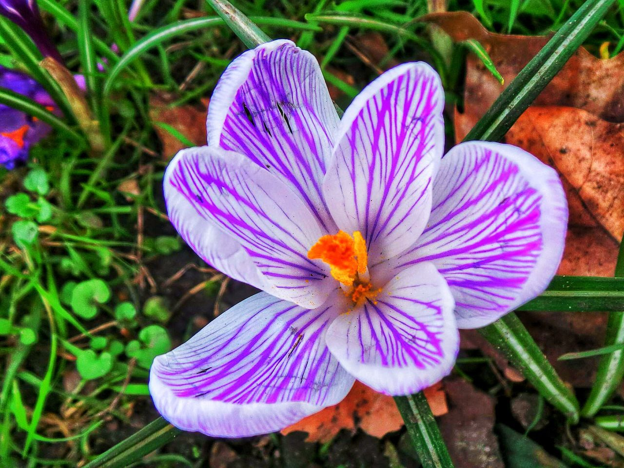 flower, petal, growth, flower head, nature, high angle view, freshness, fragility, purple, beauty in nature, outdoors, field, day, no people, plant, close-up, crocus, grass, blooming