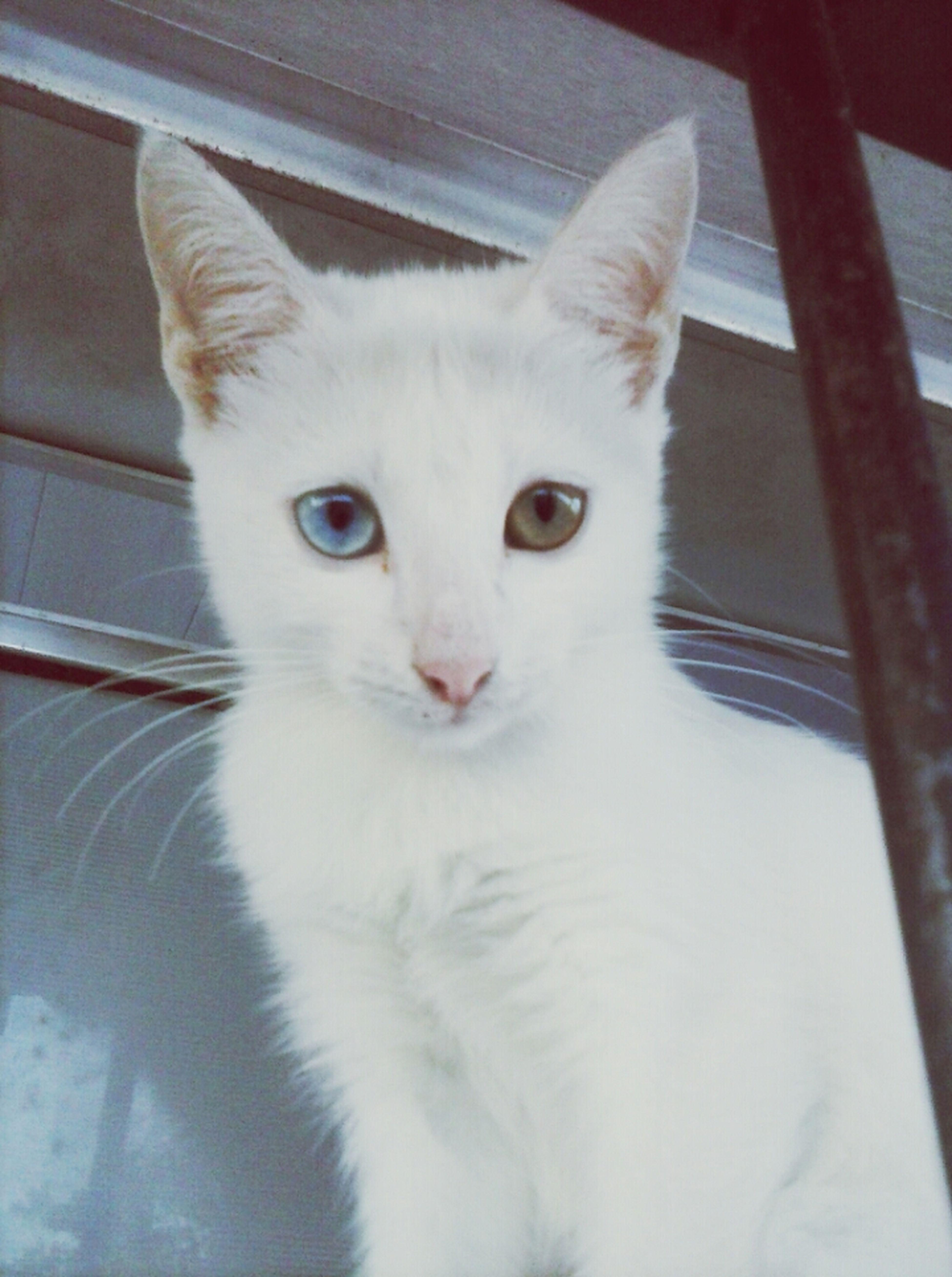 Rebekah ♥ =^.^= ♥ Cat Love Heterochromia Gata First Eyeem Photo