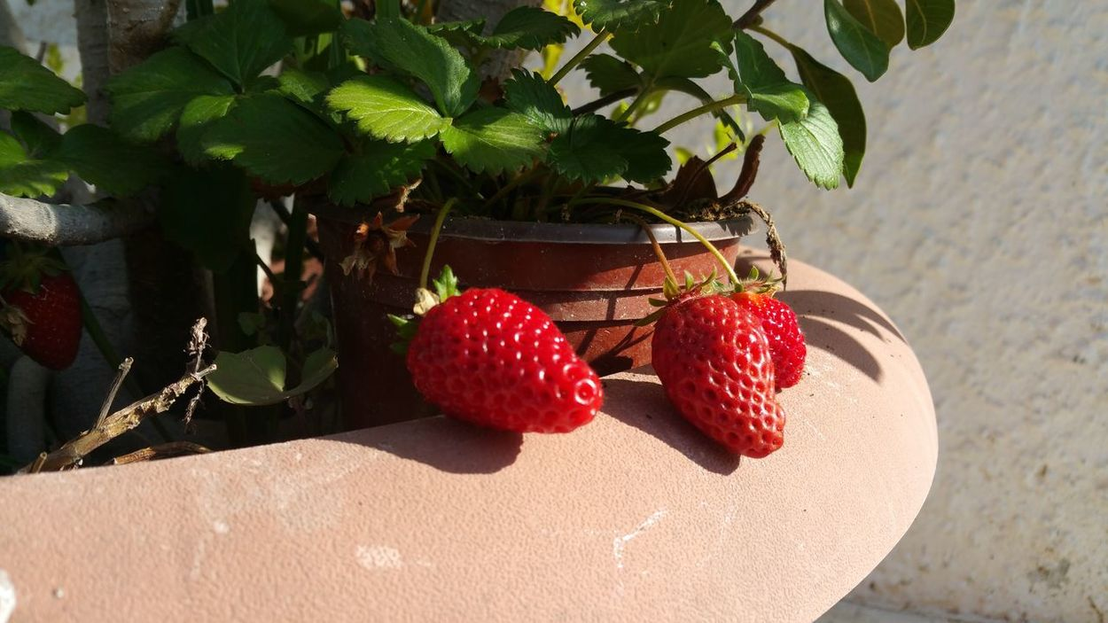Fruit Red Hanging Food And Drink No People Tree Plant Leaf Growth Healthy Eating Summer Food Shadow Freshness Close-up Day Garden Potted Pot Berries Visual Feast