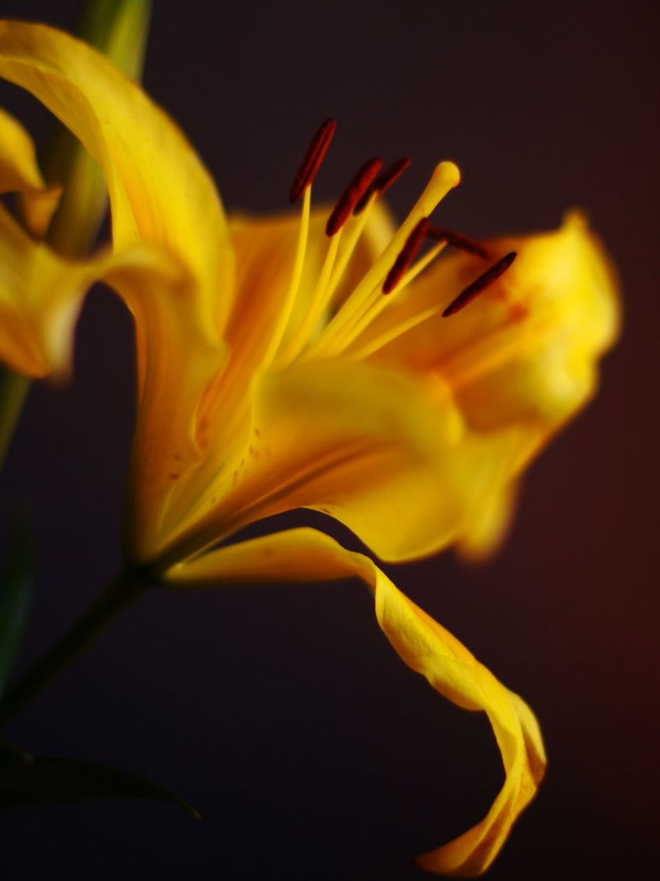 Flower Beauty In Nature Petal Nature Close-up Fragility Flower Head Abstract No People Freshness Lilly Blossom Yellow Flower Rebirth Royalty Passion Beauty Of Youth