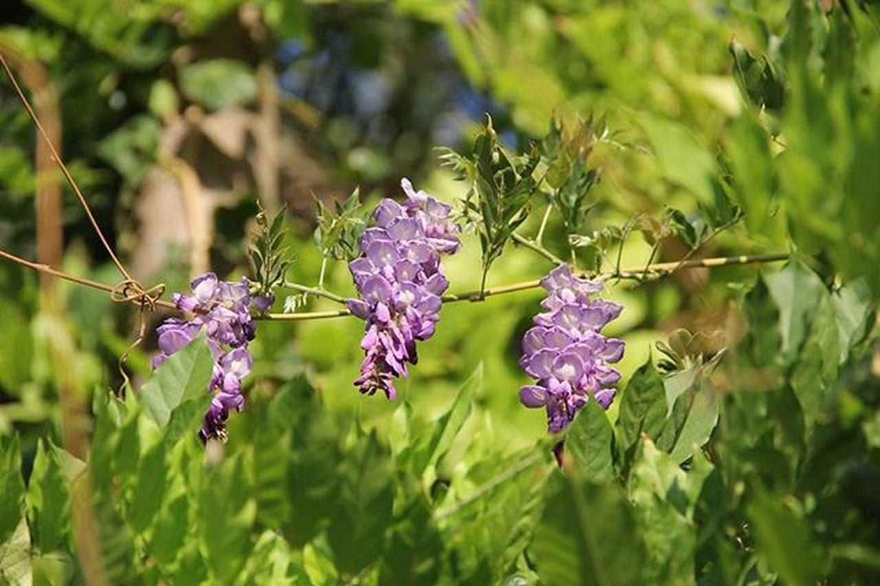 Fiori Flowers Lule Jargavani Natura Glicine Natura Landscapecaptures Landscape