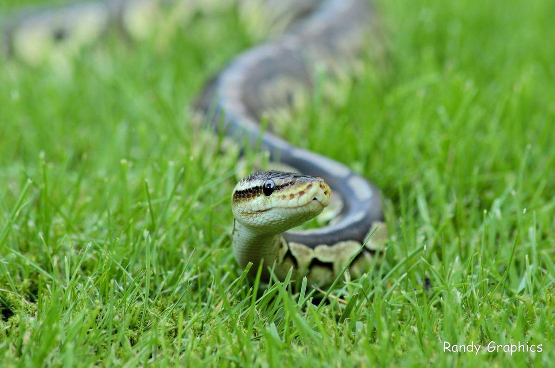 Snake Slang Pythonregius Blackpewter