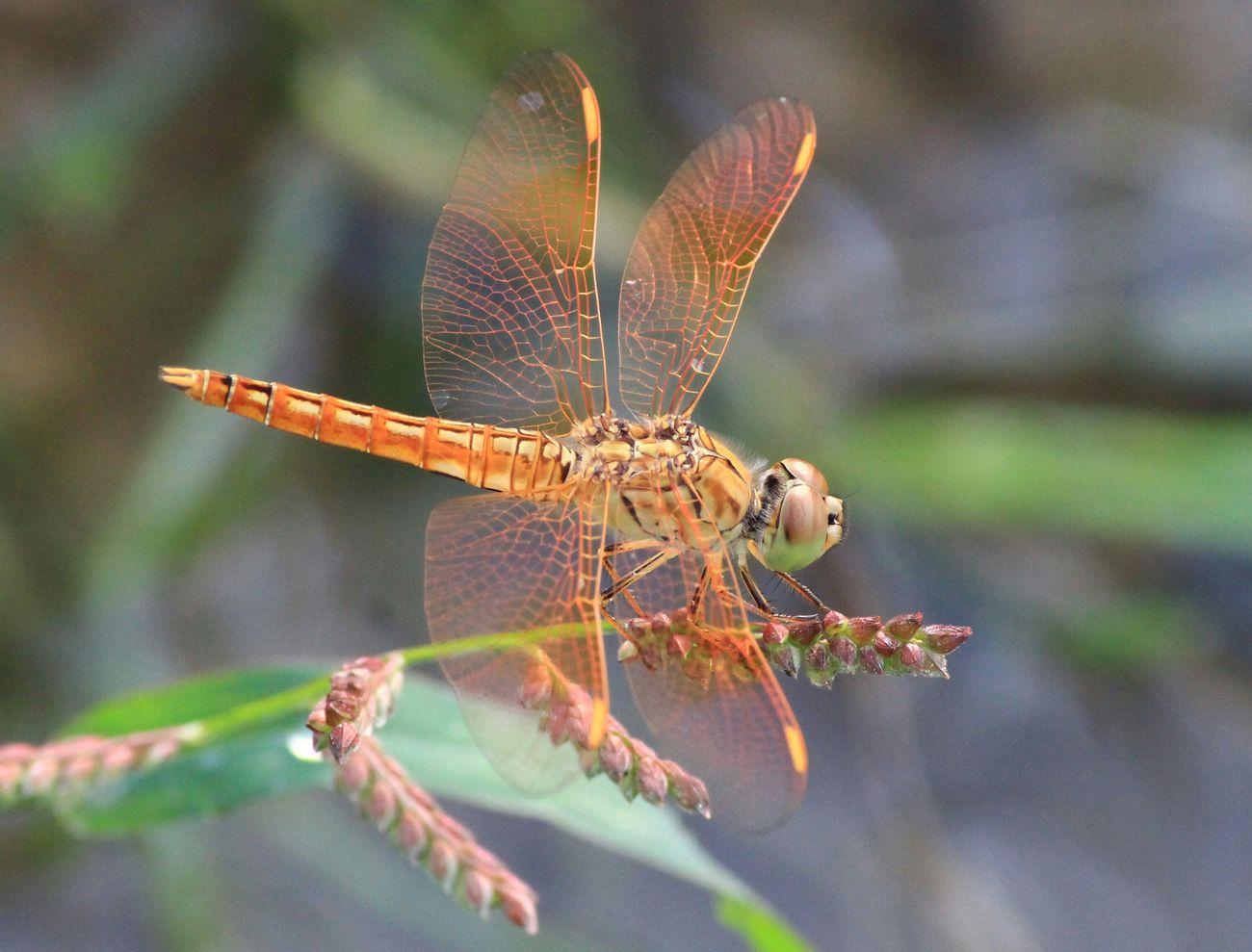 orange dragonfly...