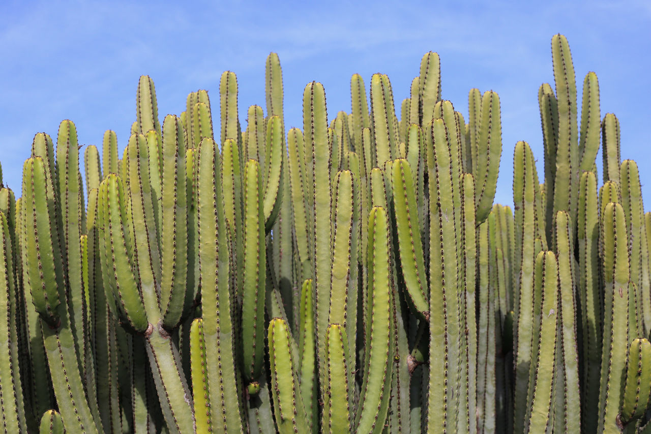Cactus Canary Islands Green Lanzarote Beauty In Nature Blue Cactus Green Color Growth Outdoors Plant Sky Spiked