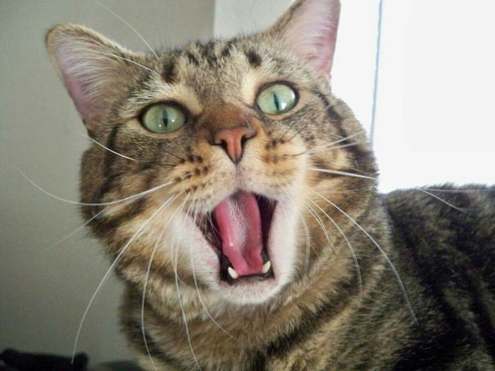 My cat ace Funny Face Domestic Animal Animals Cats Shocked Face Animal Photography Animal_collection Animallovers