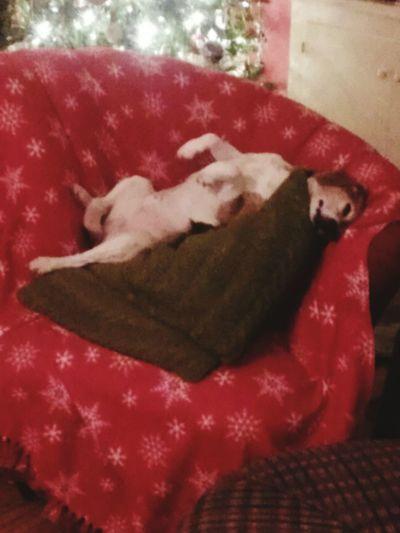Spoiled Rotten Furbaby. Beaglelovers Beagles Of Eyyem Beaglemania Spoiled Dog Close-up