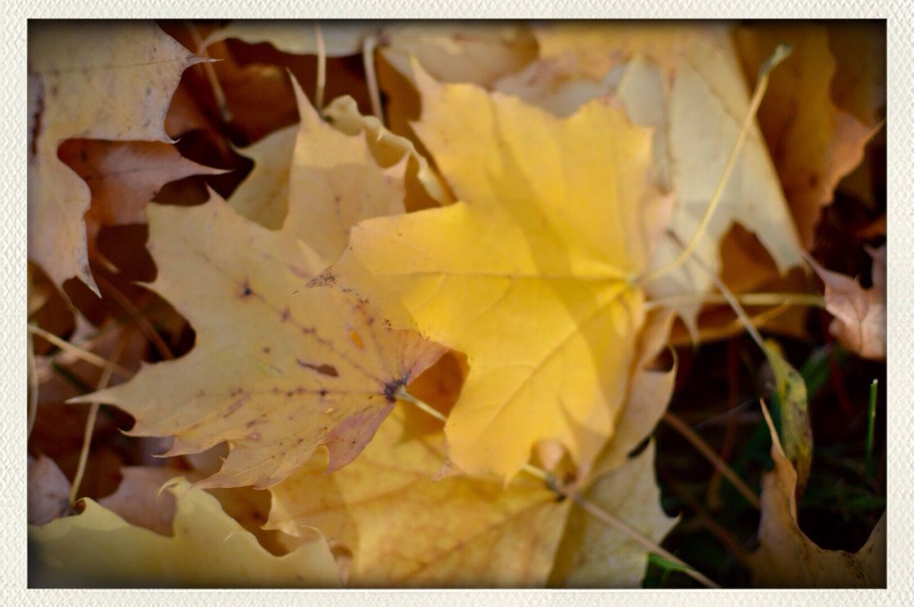 leaf, autumn, change, close-up, no people, yellow, nature, outdoors, day, maple leaf, fragility, maple, beauty in nature
