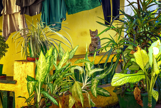 Camouflage Cat Cats Day Foliage Front Or Back Yard G Green Green Color Hanging Out Hide House India Kitty Leaf Leaves Panaji Panjim Peek Peeking Pet Plant Plant Plants Yellow