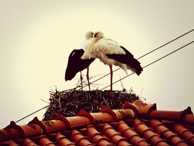 Love is in the air. First Eyeem Photo Cigüeñas Amor