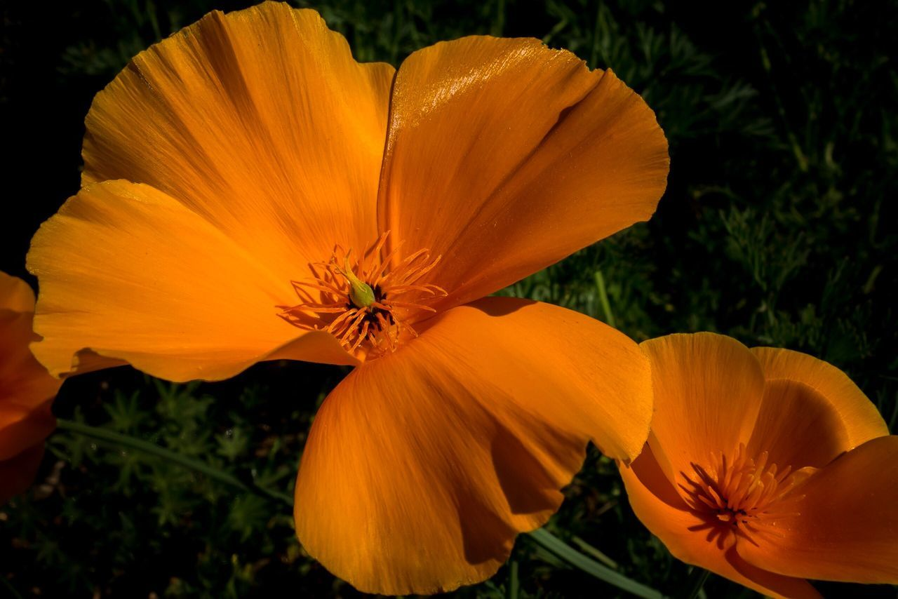 California Poppy Flower Petal Flower Head Fragility Beauty In Nature Growth Plant Nature Freshness Orange Color Blooming Outdoors No People Day Close-up Day Lily California Poppy