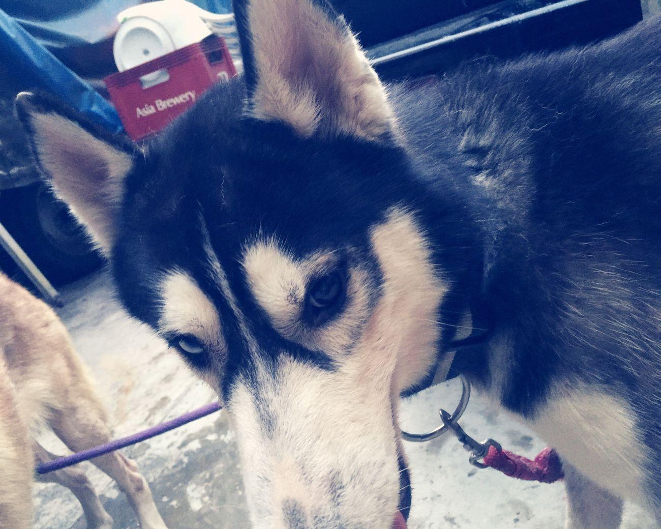 My birthday boy ❤️ Hirothehusky Siberian Husky Bebelove