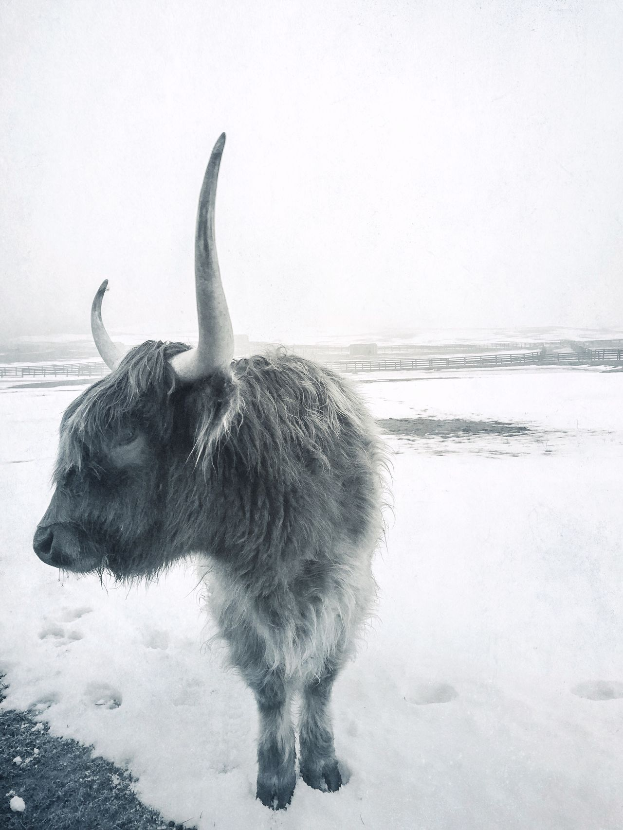.messing with the bull. Winter Cold Temperature One Animal Snow Animal Themes Nature Water Outdoors No People Beauty In Nature Snowing Domestic Animals Shootermag_usa Shootermag Nature