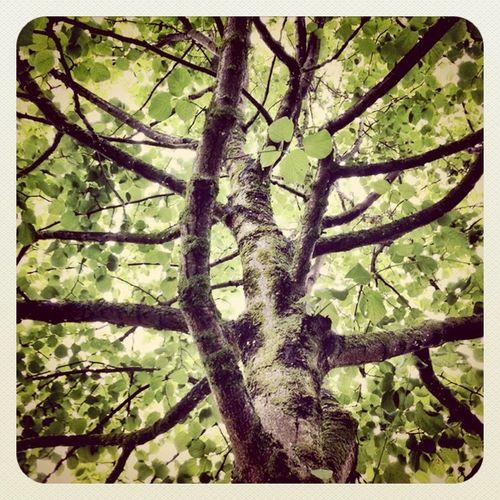 This lovely #tree in Swords #park reminds me octopus ? #jj_forum #jj #earlybirdlove Earlybirdtrees_finalist Tree Park Popular Jj  Earlybirdlove Jj_forum Popularpage Alaniskoeblove Alaniskopop Earlybirdtrees_challenge