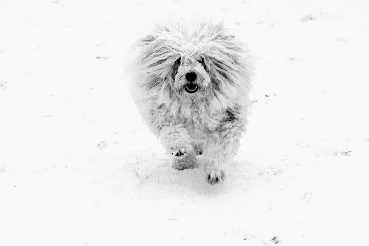 Flash. Dog❤ Hungarian Puli Snow ❄ Snow White White Background Running Dog White Dog In Snow