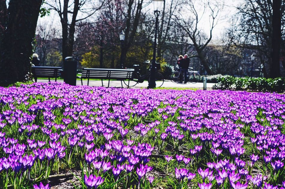 Amsterdam Flower Growth Nature Beauty In Nature Purple Fragility Tree Park - Man Made Space Freshness Outdoors Blooming Pink Color Plant Day Petal Tranquility Springtime Scenics Flower Head No People Real Photography Spring Spring Flowers Happy Easter