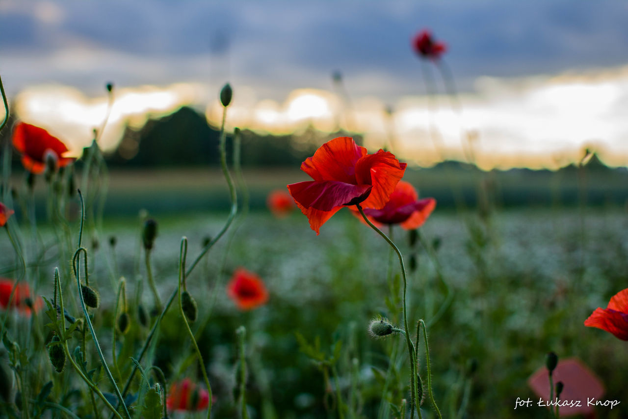 flower, red, beauty in nature, growth, nature, plant, fragility, petal, blooming, freshness, focus on foreground, flower head, poppy, no people, field, day, outdoors, close-up, water, sky, scenics, grass