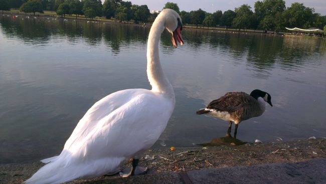 Hyde Park White Swan Bird Ducks Lakeshore London Royal Parks Round Pond Beauty In Nature Walking Around Taking Pictures Animals Animal Lovers Nature's Diversities